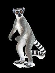 -F7177 -   TOWAR   - Lemur katta